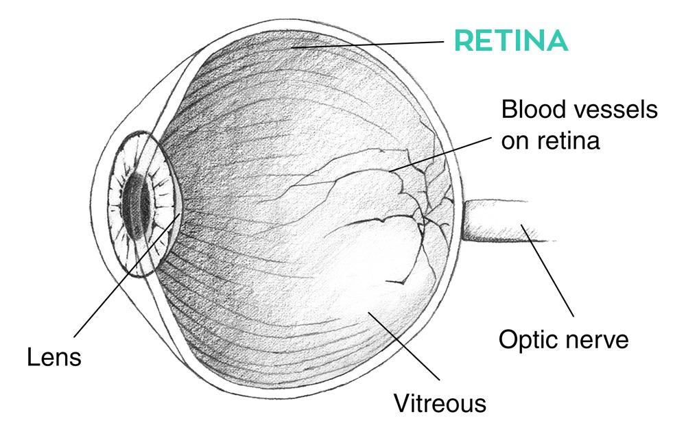 retina-øje2